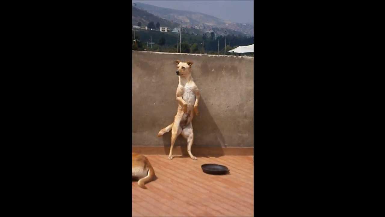 Perro bailador de Carranga